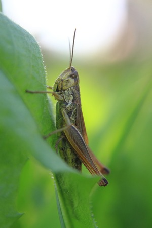 grasshopper in the green grass (spring theme)