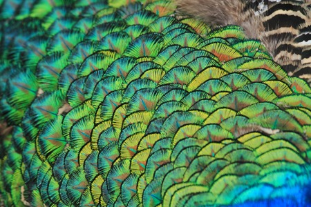 pluma de pavo real: textura de plumas de pavo real tan agradable aislado animal