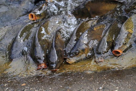 mirror carp: hungry carp fishes (this fish is traditional czech christmas food)