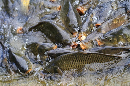 carp fishes are hungry (traditional czech christmas food) photo