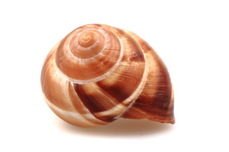 clam gardens: snail shell isolated on the white background