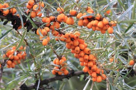 buckthorn: sea buckthorn fruits as exotic food background