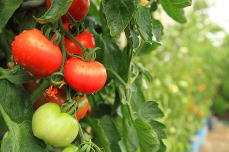 tomato: fresh tomatoes on the green plant from small farm