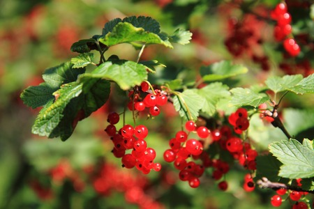 nice food: red currant plat with fruits as nice food background Фото со стока