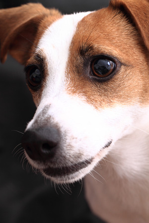 jack russell terrier head on the dark background photo