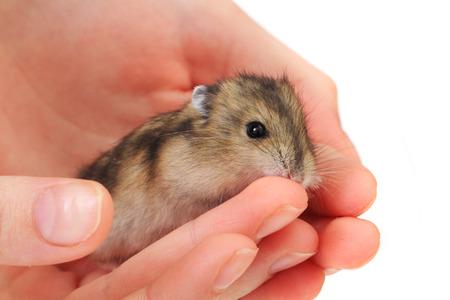 raton: Dzungarian peque�o rat�n en la mano humana Foto de archivo