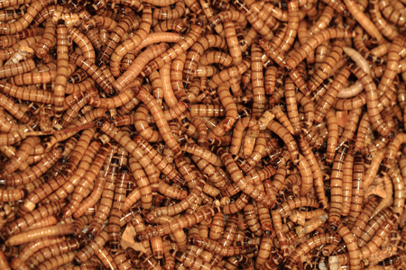 mealworm: fresh brown worms as gourmet insect background