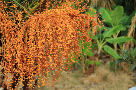 date tree: date tree plant as very nice natural background