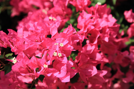 color bougainvillea: bouganvillea flower as very nice natural background