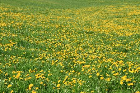 dandelion field: dandelion field as very nice natural background