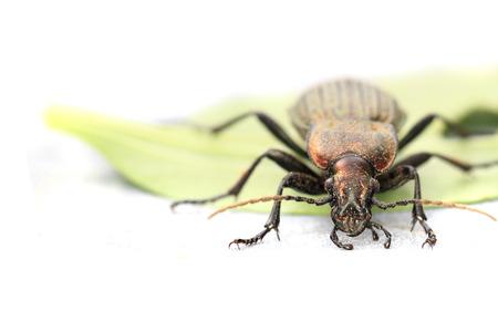 carabidae: Carabus cancellatus (copper color bug) isolated on the white background Stock Photo
