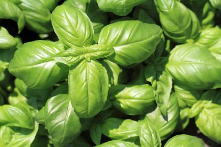nice food: листья базилика текстуру, как приятный фон пищи