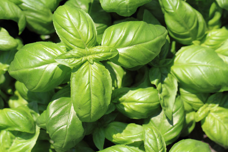 nice food: basil leaves texture as nice food background