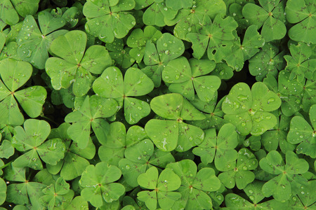 buena suerte: mirada plan como el trébol de cuatro hojas (textura natural)