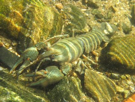 chitin: small blue cancer in the czech river