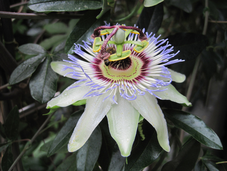 nice background: very nice passion flower as nice background