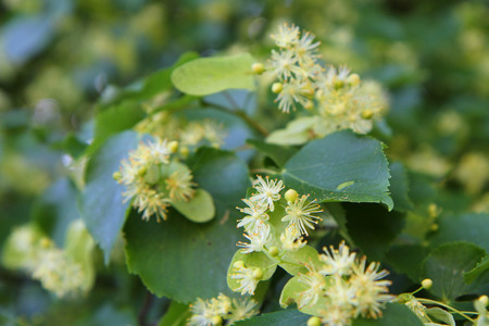 tilia cordata: basswood flowers as nice natural herbal tea background