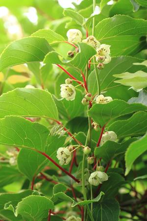 actinidia deliciosa: flowers on the actinida plant (kiwi fruits)