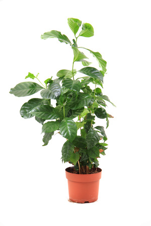 coffea: coffea plant isolated on the white background