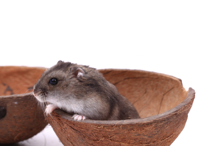 dwarf hamster: dzungarian mouse in the coconut isolated on the white background Stock Photo
