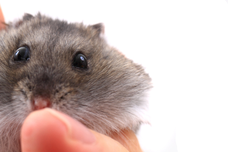 dwarf hamster: dzungarian mouse in the human hands isolated on the white background