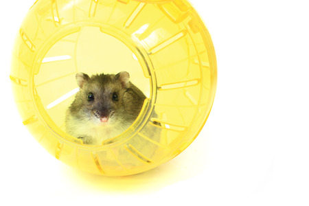 dwarf hamster: dzungarian mouse in the yellow sphere isolated on the white background
