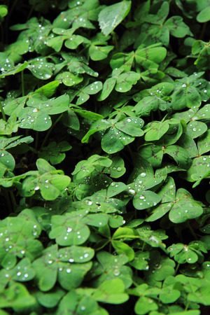 quarterfoil: quarterfoils with water drops as nice natural background