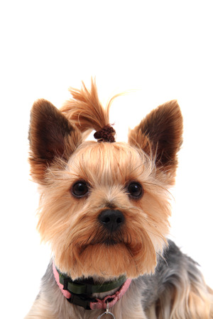 yorkie: yorkie terrier isolated on the white background