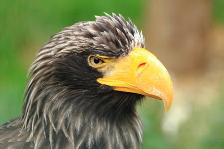 aigle: détail de la tête aigle noir sur le fond vert