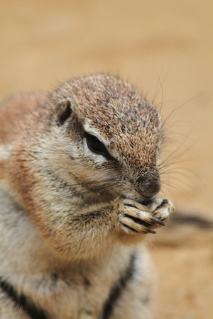 cape ground squirrel: small exotic sand squirrel in the desert