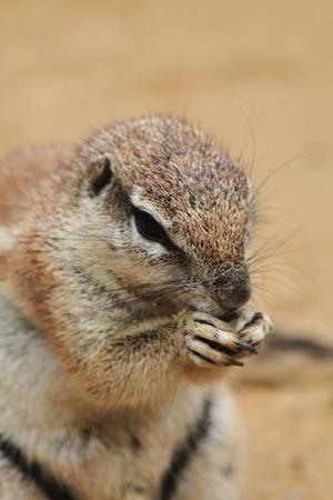 xerus inauris: small exotic sand squirrel in the desert