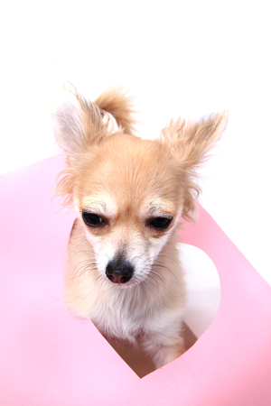 paper hole: small sweet chihuahua in heart paper hole