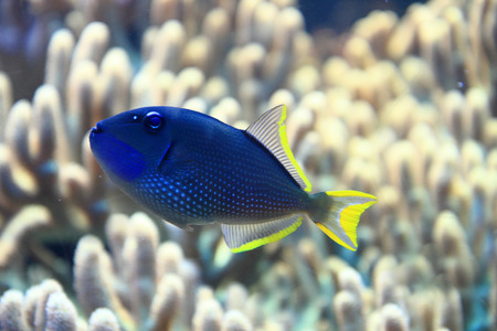 pomacanthus: exotic fish in the sea with coral background Stock Photo
