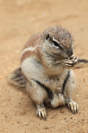 xerus inauris: small exotic sand squirrel in the desert