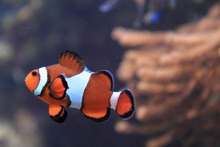nemo: orange nemo fish (clown fish) in aquarium