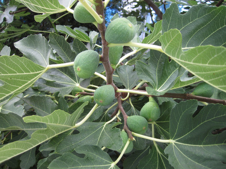 nice food: natural fig plants as very nice food background