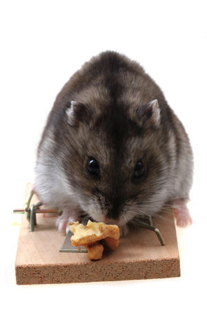 exterminate: dzungarian mouse in the mousetrap isolated on the white background