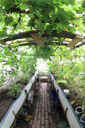 conservatory: conservatory with green grapes and other vegetable