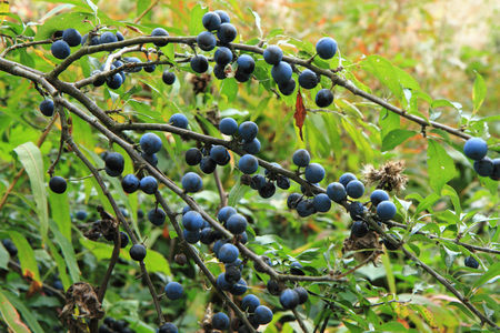 trees with thorns: wild plums as very nice natural plant background Stock Photo