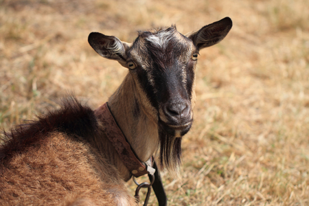 brown goat: young brown goat from the czech farm