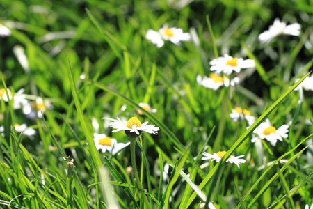 daisys: daisies in the green grass as spring background