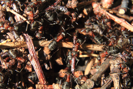 anthill: detail of forest anthill as nice insect background Stock Photo