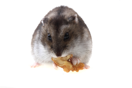 dwarf hamster: dzungarian hamster with walnut isolated on the white background Stock Photo