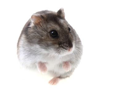 dwarf hamster: dzungarian hamster isolated on the white background