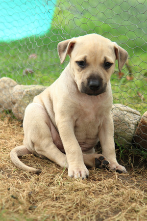 pit fall: American Pit Bull Terrier as small and sweet dog