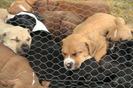 pit fall: group of American Pit Bull Terrier dogs Stock Photo