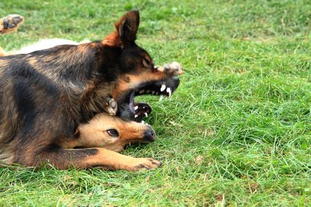 kampfhund: zwei Hundekampf im grünen Gras Lizenzfreie Bilder
