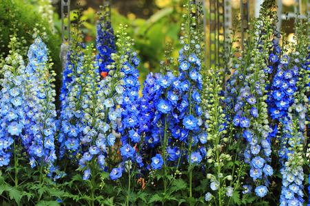 素敵な自然の背景としてブルーのデルフィ ニウムの花