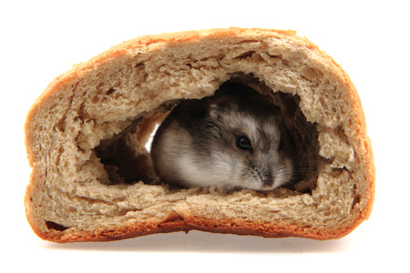 dzungarian hamster in the bread isolated on the white background Reklamní fotografie