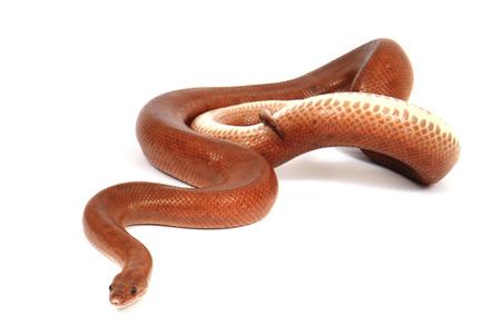 herpetology: rainbow boa snake isolated on the white background Stock Photo